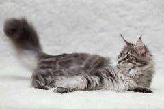 摆在白色背景的灰色缅因树狸猫 免版税库存图片