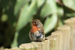 摆在知更鸟的鸟 库存图片