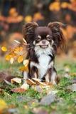 摆在秋天的可爱的奇瓦瓦狗狗 库存照片