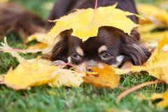 摆在秋天的可爱的奇瓦瓦狗狗 免版税库存图片