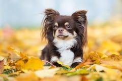 摆在秋天的可爱的奇瓦瓦狗狗 图库摄影