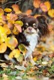 摆在秋天的可爱的奇瓦瓦狗狗 库存图片
