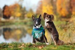 摆在秋天的杂种犬和奇瓦瓦狗狗 库存照片