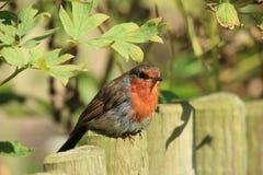 摆在红色知更鸟的鸟 免版税库存照片
