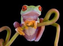 摆在红色结构树藤的被注视的青蛙 库存照片