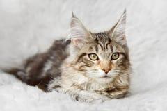 摆在背景毛皮的银色黑缅因浣熊小猫 免版税库存图片