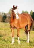 摆在草甸的美丽的威尔士小马母马 免版税图库摄影