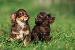 摆在草的两只可爱的棕色小狗 免版税图库摄影
