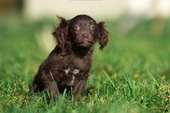 摆在草的可爱的棕色小狗 库存图片