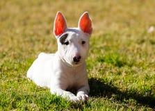 摆在草的杂种犬小狗 免版税库存照片