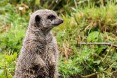 摆在草的Meerkat 免版税库存图片