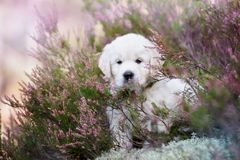 摆在荒地领域的金毛猎犬小狗 库存照片