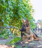 摆在葡萄园里的德国牧羊犬小狗 库存照片