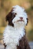 摆在西班牙水猎狗的小狗户外 免版税图库摄影