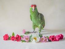 摆在轻的背景的绿色亚马逊鹦鹉 库存图片