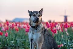 摆在郁金香领域的昆明wolfdog的画象 库存照片