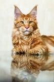 摆在镜象反射狐狸的红色缅因浣熊小猫 库存图片