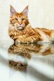 摆在镜象反射狐狸的红色缅因浣熊小猫 免版税库存照片