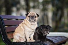 摆在长凳的两条哈巴狗狗 免版税库存照片