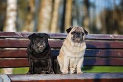 摆在长凳的两条哈巴狗狗 库存照片