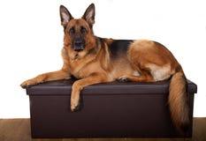 摆在长凳的德国牧羊犬狗 库存图片