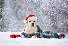 摆在雪的圣诞老人帽子的拉布拉多狗 免版税库存照片