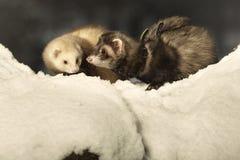 摆在雪的白鼬夫妇  免版税库存照片