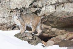 摆在雪的美洲野猫 免版税库存照片