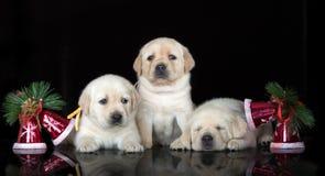 摆在黑背景的可爱的拉布拉多小狗 库存图片