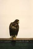 摆在贝尔格莱德市场的猎鹰 免版税库存照片