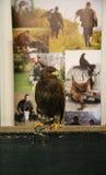 摆在贝尔格莱德市场的猎鹰 库存图片