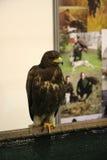摆在贝尔格莱德市场的猎鹰 免版税库存图片