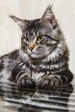 摆在玻璃桌上的黑缅因树狸猫 库存图片