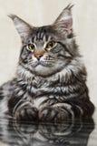 摆在玻璃桌上的黑缅因树狸猫 免版税库存图片
