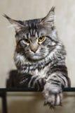 摆在玻璃桌上的黑缅因树狸猫 库存照片