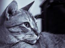 摆在巴西短发的猫斜向一边 库存图片