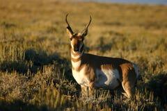 摆在pronghorn的羚羊大型装配架 库存照片