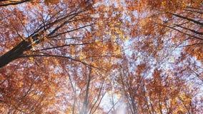 摇摄在秋天射击了树梢,当叶子改变肤色 股票录像