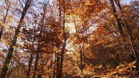 摇摄在秋天射击了树梢,当叶子改变肤色 股票视频