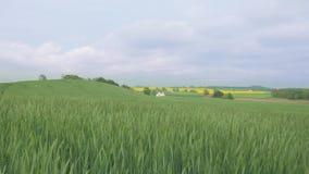 摇摆在与天空蔚蓝的风的绿色领域 股票录像