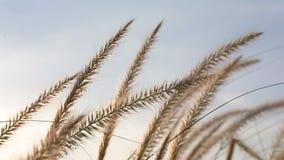 摇摆在天空背景中的自然草 股票视频