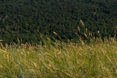 摇摆在山的风的玉米穗 库存照片