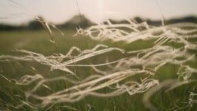 摇摆在干草原的风的银色针茅 针茅在俄罗斯 强风摇摆并且挥动草,altai 股票视频
