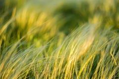 摇摆在干草原的风的银色针茅 免版税库存照片