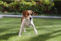 摇摆在庭院里的小猎犬混合 免版税库存图片
