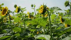 摇摆在微风的向日葵的黄色花,批评 股票录像