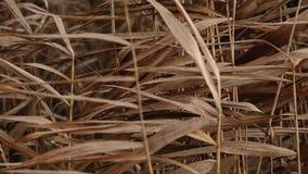 摇摆在有雾的愚钝的秋天天气慢动作特写镜头的风的藤茎芦苇 股票视频