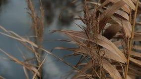 摇摆在有雾的愚钝的秋天天气慢动作的风的干燥藤茎芦苇 股票视频