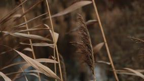 摇摆在有雾的愚钝的秋天天气慢动作的风的干燥藤茎芦苇 影视素材
