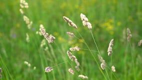 摇摆在草地早熟禾的小尖峰,在安静的风下在日落 影视素材